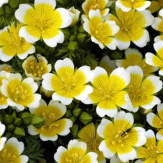 リムナンテス  ポーチドエッグ  植物