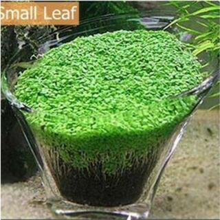 水草の種 10グラム プレミアムシード  キューバパールグラス系