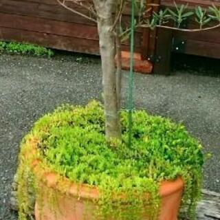 他肉植物 セダム、マンネングサ 草花