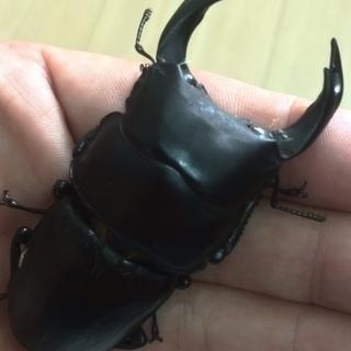【残り2セット!!】国産オオクワガタ能勢YG  新成虫 ♂x1 ♀...