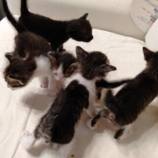 子猫もらってください
