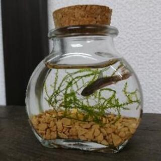 『ベタ ガラス瓶セット』(アクアリウム ボトリウム  水槽 熱帯魚...