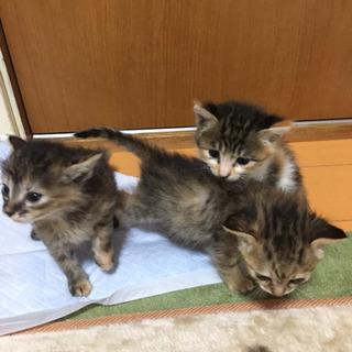 生後1ヶ月前後の子猫7匹の里親さん募集中です。