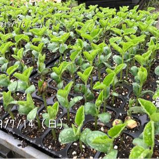 枝豆を植えよう!7月20日(土)/自然農体験ワークショップ