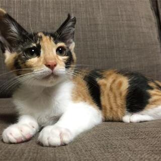 可愛いすぎる三毛猫、姫ちゃんです。