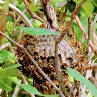 蜂の巣の駆除致します。