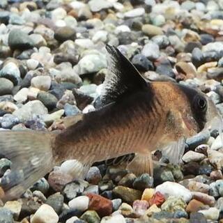 コンコロール×デュプリカレウス ハイブリッド 熱帯魚 コリドラス