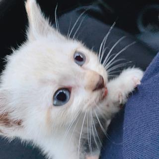 白い子猫 里親募集