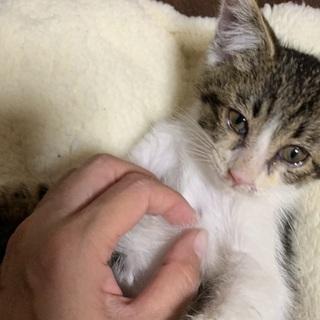 まっすぐ尻尾のキジ白半長毛 2ヶ月の男の子