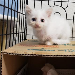 里親さまが決定しました。生後1ヶ月半の白猫(オス)※代理投…