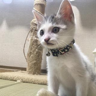 【里親募集】丸しっぽ丸模様★サバトラ柄の子猫★男の子