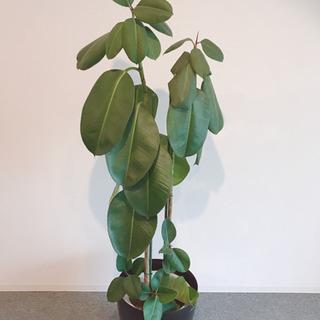 【無料で】観葉植物お譲りします※予定者決定しました。