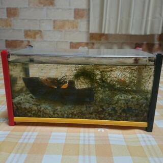金魚 水槽セット