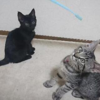 元気な黒猫のハロくんとキジトラのラムちゃん