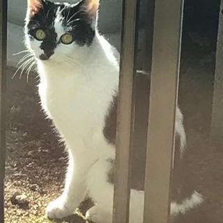 人懐こい白黒ネコ