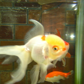金魚さん-かわり高頭丹頂、更紗三尾和金
