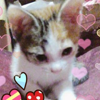 2ヶ月❤三毛猫の女の子