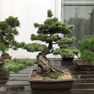 盆栽 大品盆栽  樹齢35年 宮島五葉松  模様木 樹高52cm