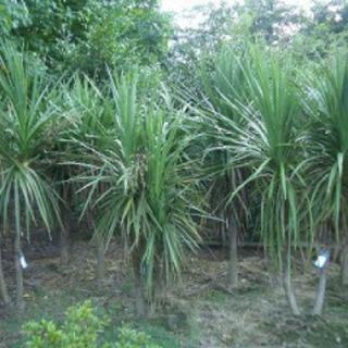 南国植物  ドラセナニオイシュロラン 種子