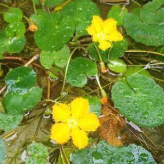 アサザ(夕日 )ビオトープなどに最適水草