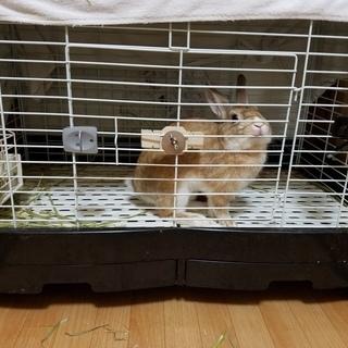 決まりました。 ミニウサギ(約1年)