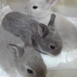 ミニウサギの赤ちゃん 里親募集(青森県内) 生後2ヶ月以降引き渡し