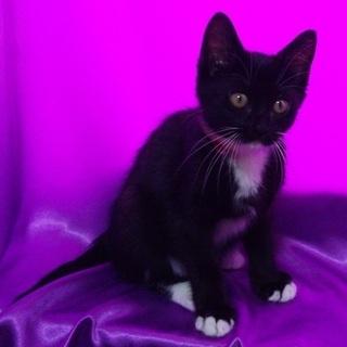 白い靴下を履いた黒猫 2ヶ月位の女の子