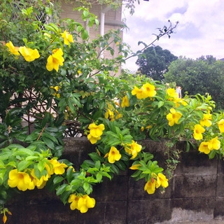 縁起の良い黄色いお花✨🌼🍃あげます