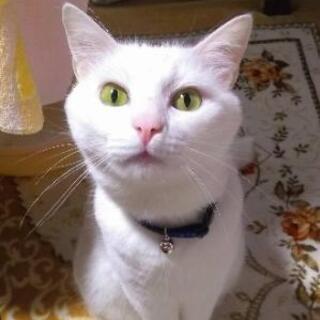 急募! 真っ白な猫の里親募集です。