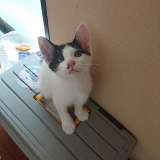 急募!!  子猫生後2ヶ月♂の里親さんを探してます。
