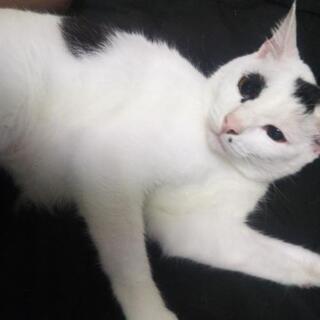 1歳の白と黒のぶちの猫です。