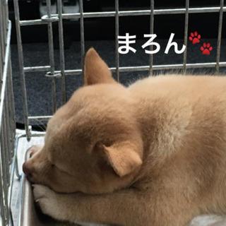 トライアル中  レスキュー子犬のまろんちゃんの里親募集