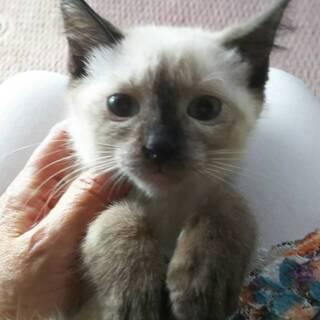 青い目のシャム系子猫(^^♪
