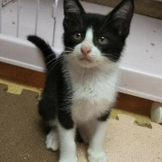 かわいい黒白ネコちゃん  2カ月