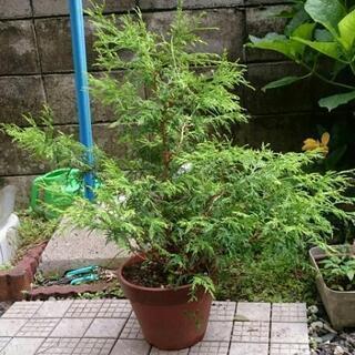 植木 植物 フィリフェラオーレア