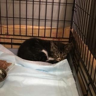 生後4カ月位可愛いサバトラ君🐱動物病院でご縁を待っています🍀