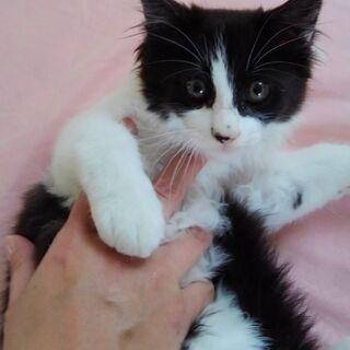 ふわふわな半長毛の子猫(白黒ブチ)