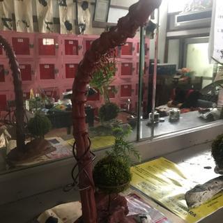 苔玉と、流木オブジェ