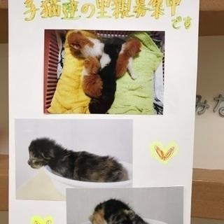 生後1カ月位の子猫🐱サビちゃん茶白君が動物病院で保護されながらご縁...