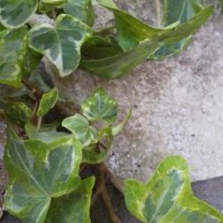 アイビー斑入り 挿し穂 水耕栽培可 植物