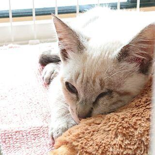 シャム風の子猫です