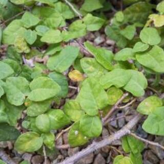 プミラ 挿し穂 水耕栽培可 植物