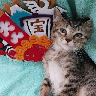 8月3日(土)の譲渡会に出します❤️ 縁起ものな子猫キジ生後2ヶ月...
