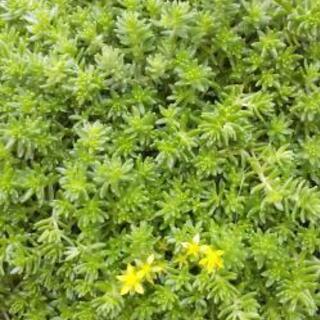 セダム モリムラマンネングサ 多肉植物