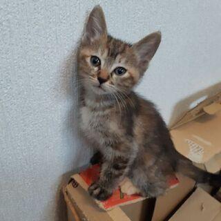 可愛い黒とら子猫の里親募集