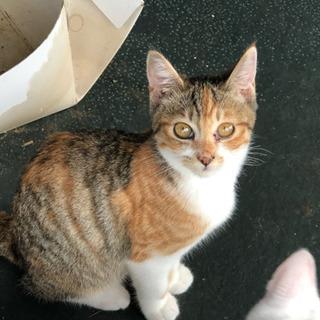 約4ヶ月くらいのキジトラ白のメス子猫