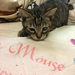 幸せを運ぶ鍵シッポの4ヶ月のメス子猫 - 羽生市