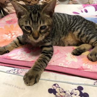 幸せを運ぶ鍵シッポの4ヶ月のメス子猫 − 埼玉県