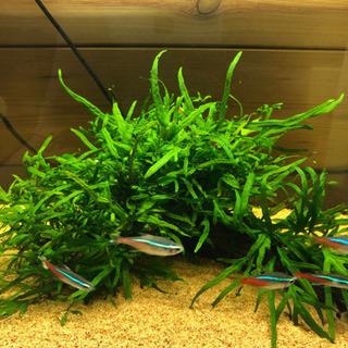 水草 浮き草