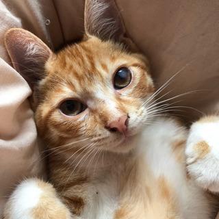 茶トラ白のオスの子猫(4ヶ月)の画像
